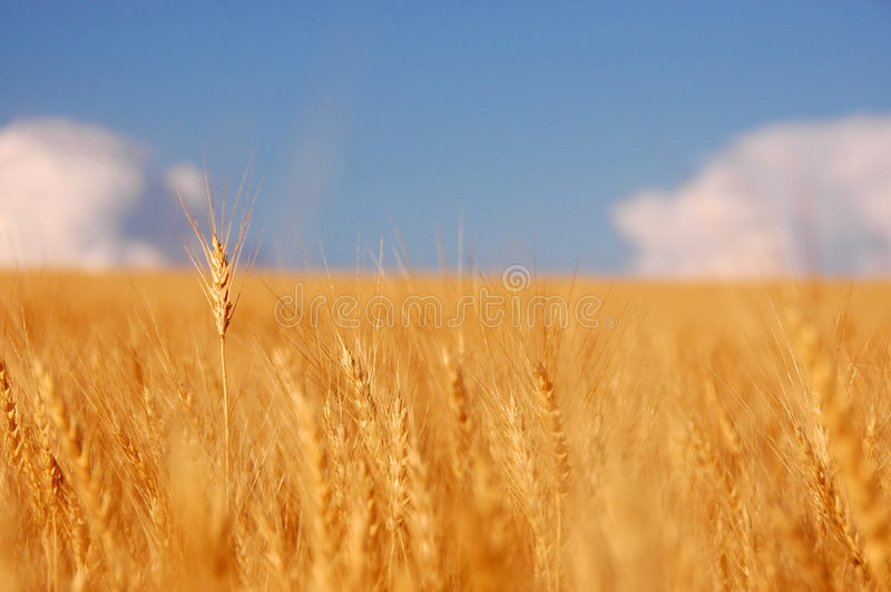 Tarwe vóór oogst stock afbeelding