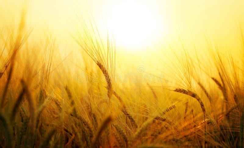 Tarwegebied bij het plaatsen van zon stock foto
