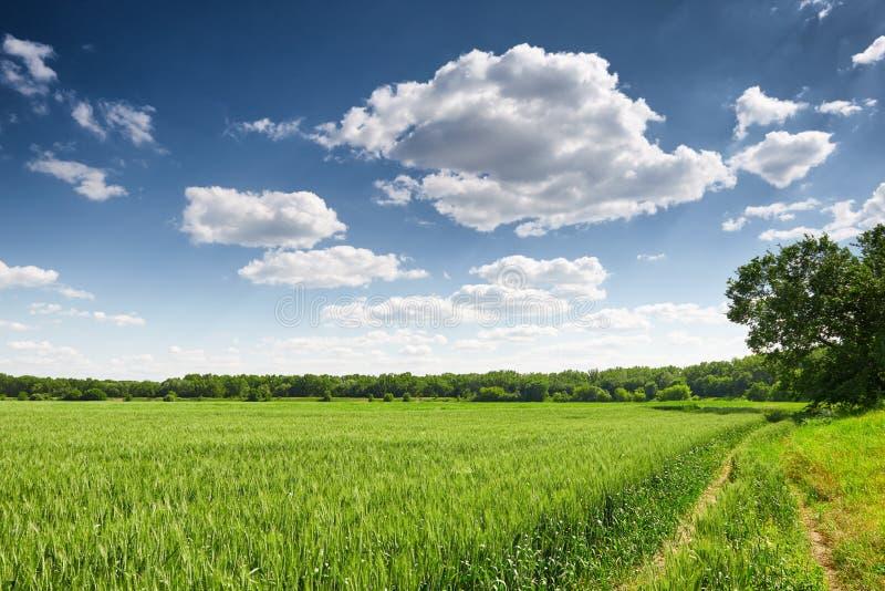 Tarwegebied in de lente, mooi landschap, groen gras en blauwe hemel met wolken royalty-vrije stock afbeelding