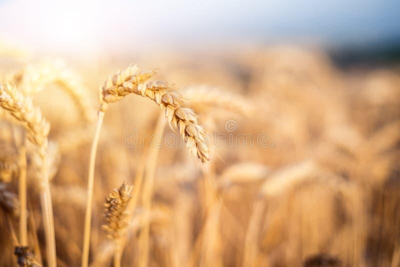 Tarwegebied in een de zomerdag Natuurlijke achtergrond zonnig weer Landelijk scène en het glanzen zonlicht landbouw royalty-vrije stock foto