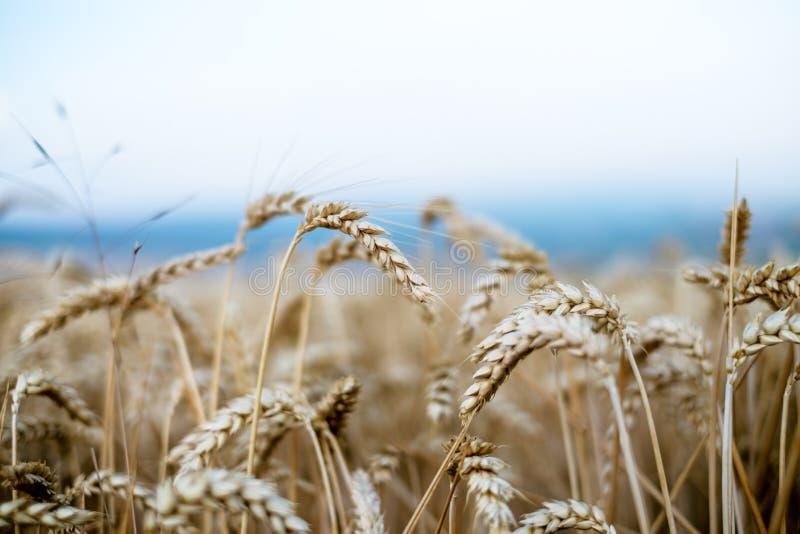 Tarwegebied in een de zomerdag Natuurlijke achtergrond zonnig weer Landelijk scène en het glanzen zonlicht landbouw royalty-vrije stock afbeelding
