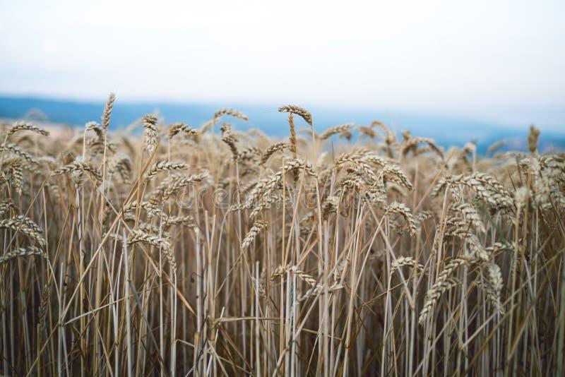 Tarwegebied in een de zomerdag Natuurlijke achtergrond zonnig weer Landelijk scène en het glanzen zonlicht landbouw stock afbeelding