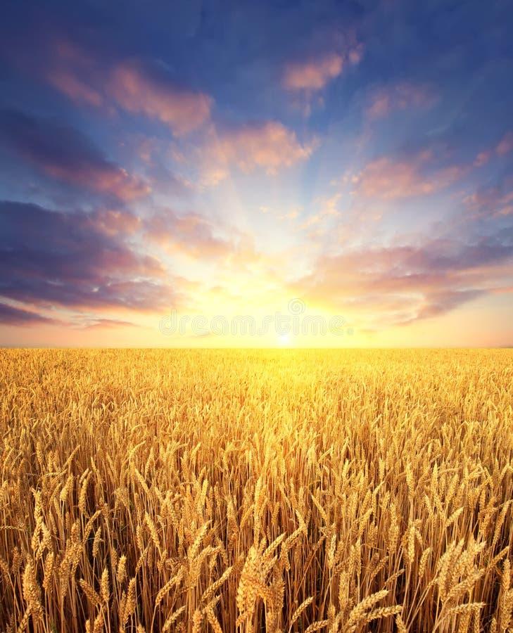 Tarwegebied en zonsopganghemel als achtergrond stock fotografie