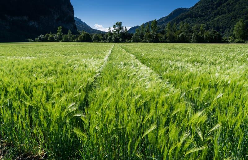 Tarwegebied in glanzende groen en een lichte wind met tractor erachter sporen en bos royalty-vrije stock afbeeldingen