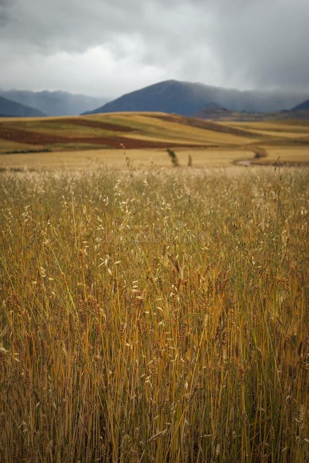 Tarwegebied met landbouwachtergrond in de bergen van Peru tijdens gouden uur royalty-vrije stock fotografie