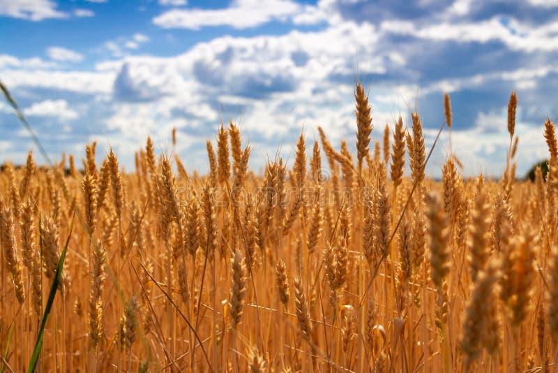 Tarwegebied op zon Oogst en voedselconcept stock foto