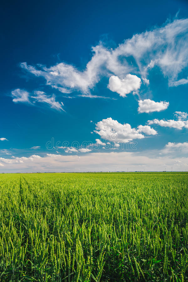 Tarwegebied tegen blauwe hemel met witte wolken royalty-vrije stock fotografie