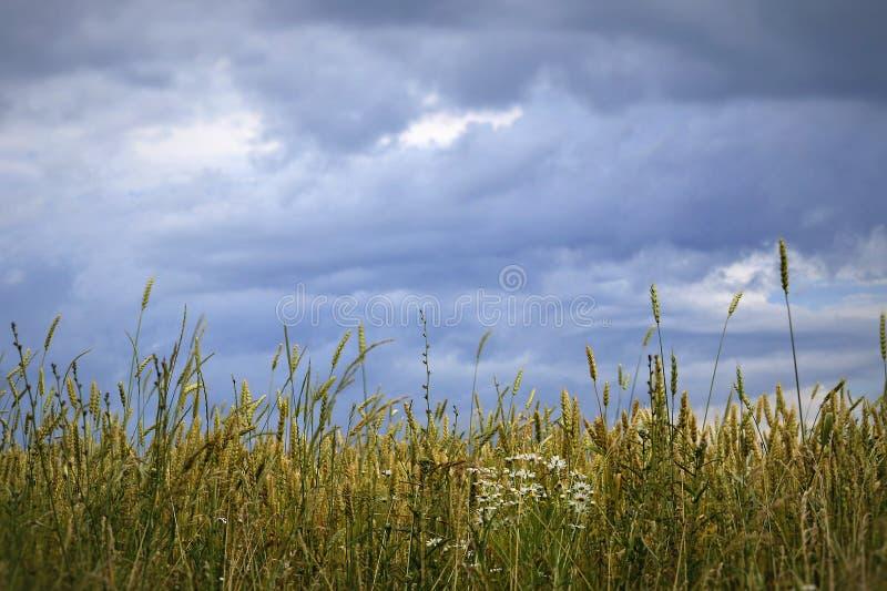 Tarwegebied vóór regen stock afbeelding