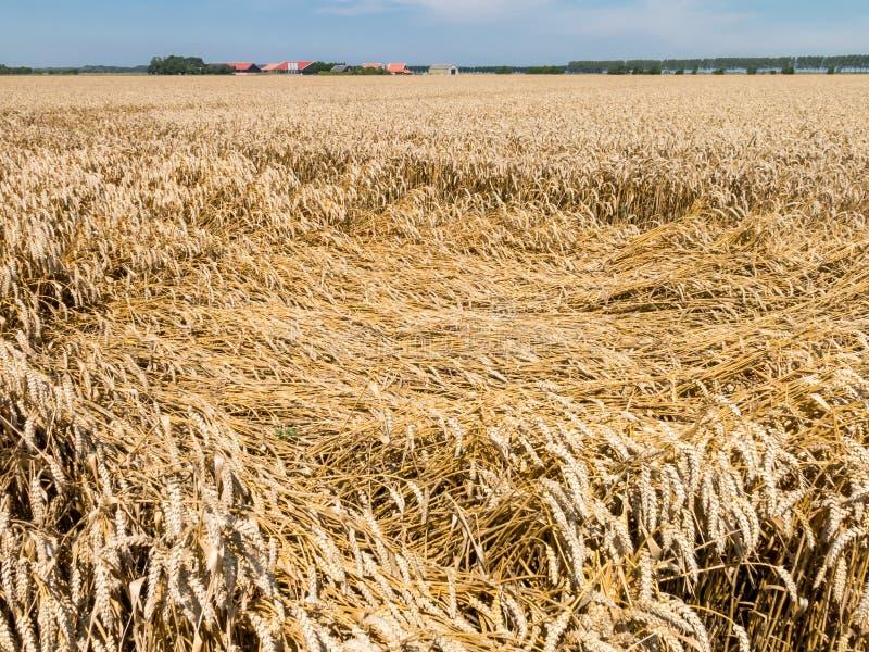 Tarwegebieden, landbouw in Nederland royalty-vrije stock fotografie