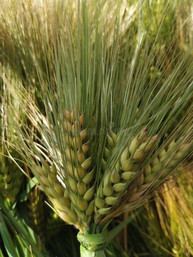 tarweinstallatie die tarwekorrels of zaden bevatten royalty-vrije stock foto's