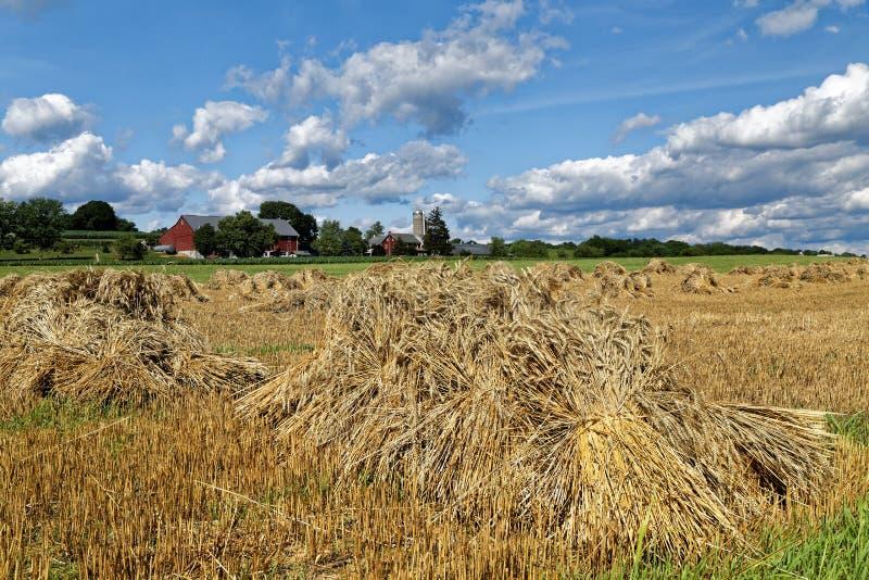 Tarweoogst op een Amish-Landbouwbedrijf stock foto's