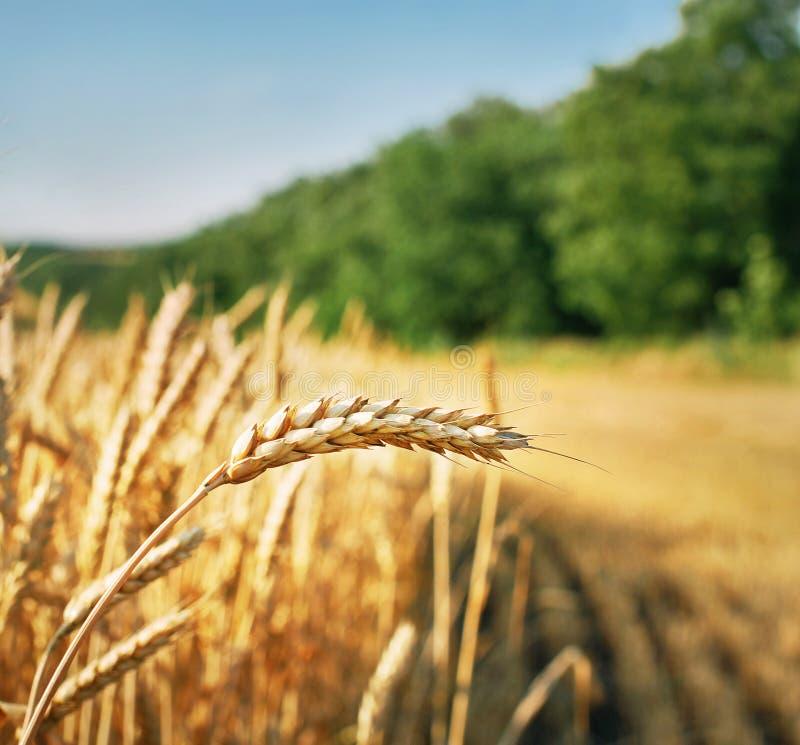 Tarweoor klaar voor oogst stock foto