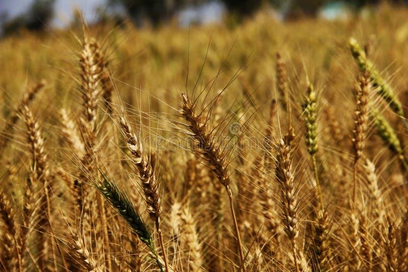 tarweoren op een gouden gebiedsachtergrond Oogst, landbouw, agronomie, voedsel, productie, ecoconcept royalty-vrije stock afbeelding