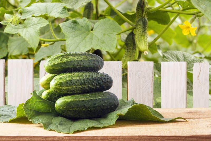 Tas des concombres organiques frais sur les feuilles vertes Table en bois dans le jardin Comcept d'agriculture Copiez l'espace photographie stock
