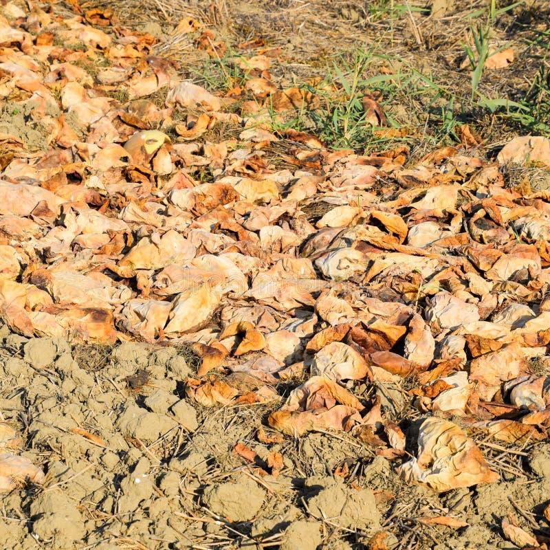 Tas des pastèques de décomposition Peau de melon Un champ abandonné photographie stock