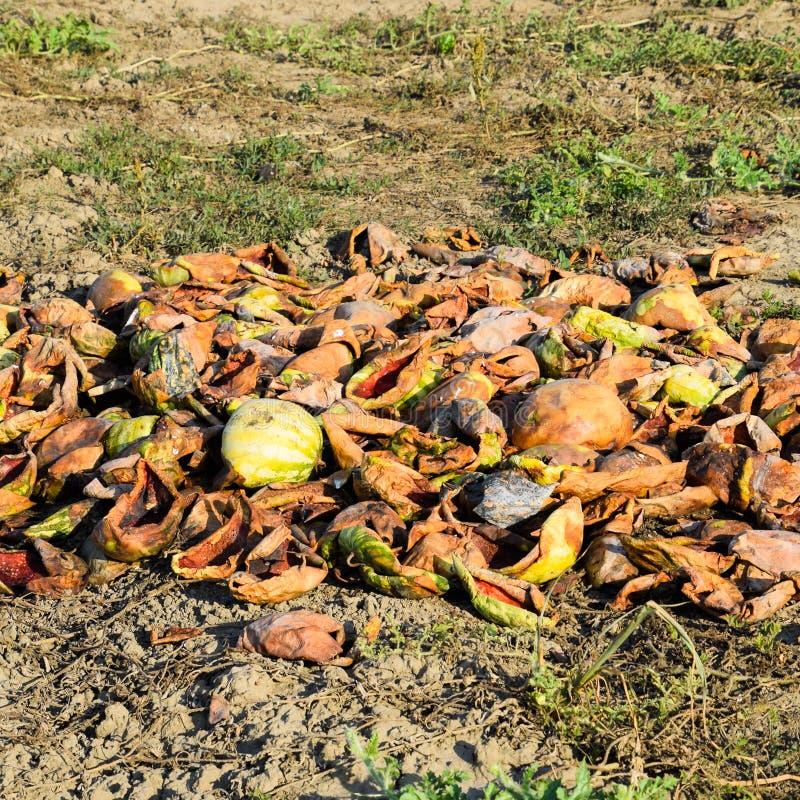Tas des pastèques de décomposition Peau de melon Un champ abandonné photo libre de droits