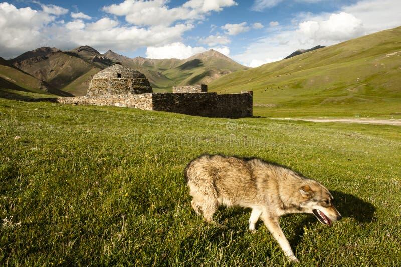 Tash Rabat met wolf royalty-vrije stock fotografie