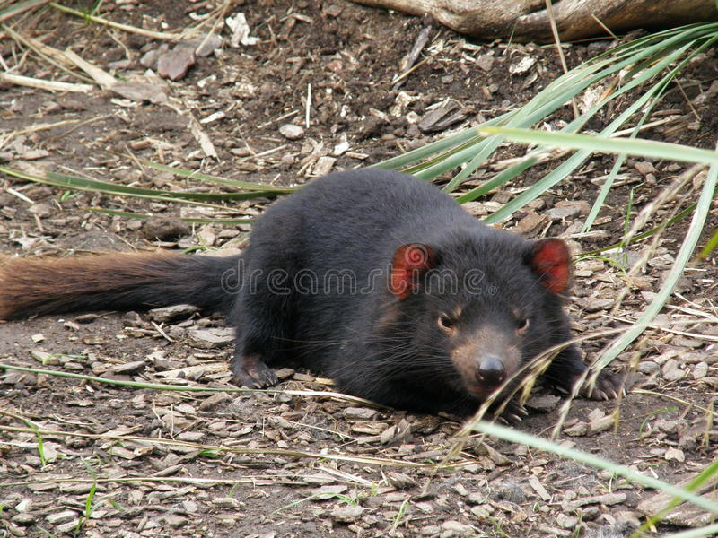 Tasmaanse Duivel stock foto's