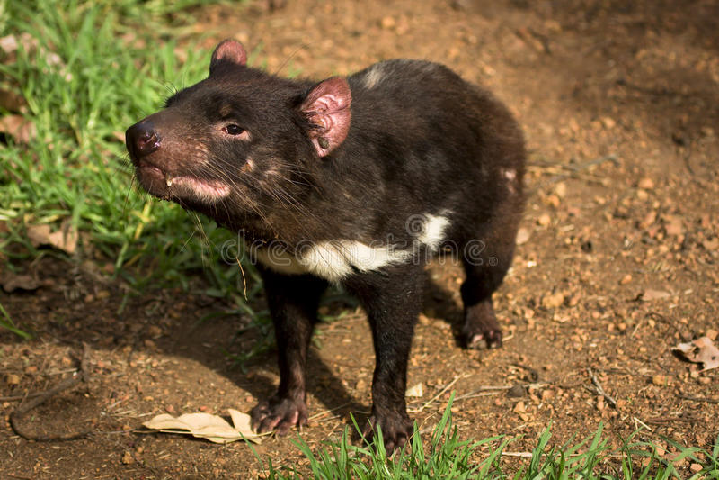 Tasmanian devil stock images