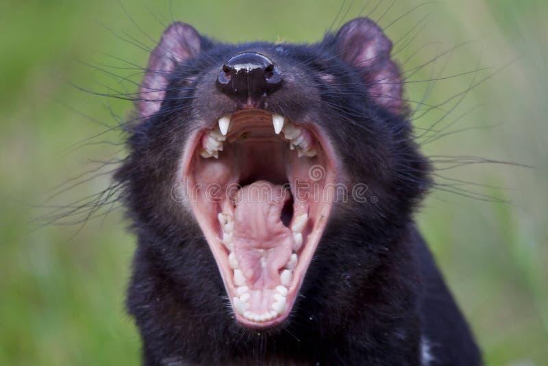 Tasmanian Devil. A Tasmanian devil yawns in one of Tasmania's local conservation parks royalty free stock photo