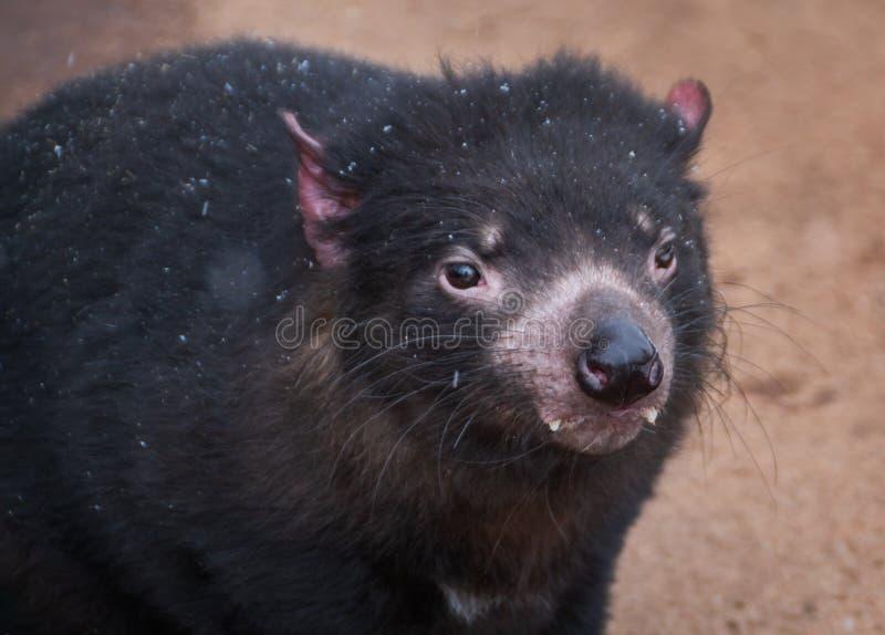 Tasmanian devil close up stock photos