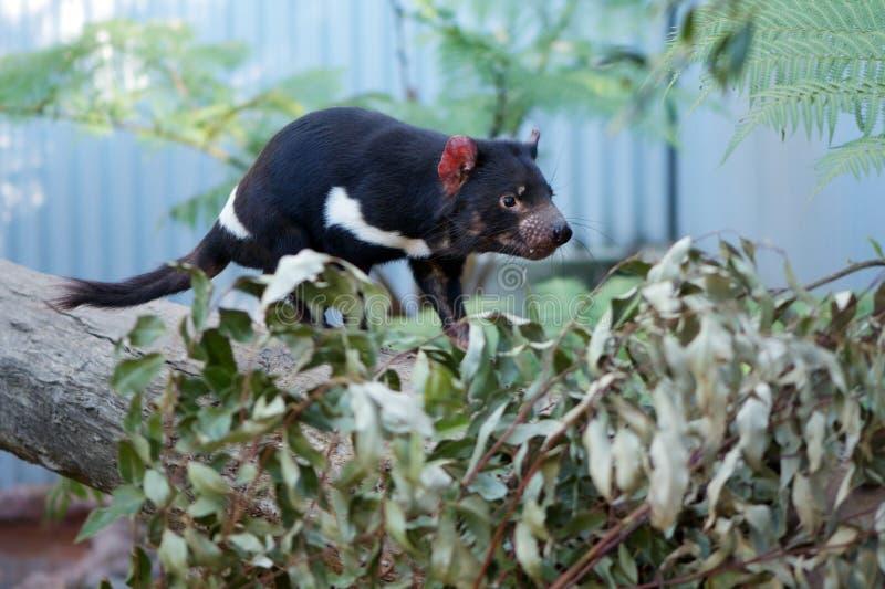 Tasmanian Devil. The endangered Tasmanian Devil (Sarcophilus Harrisii) from Australia stock images