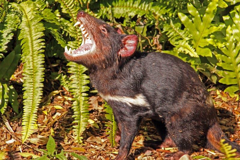 Tasmanian Devil growling stock images