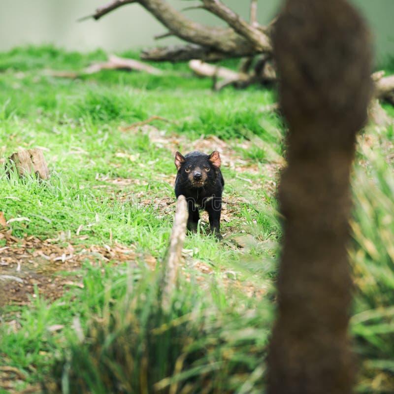 Tasmanian Devil in Hobart, Tasmania stock photos