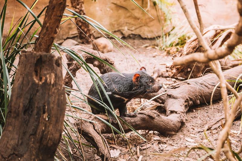 Tasmanian Devil Running in the Wild royalty free stock images