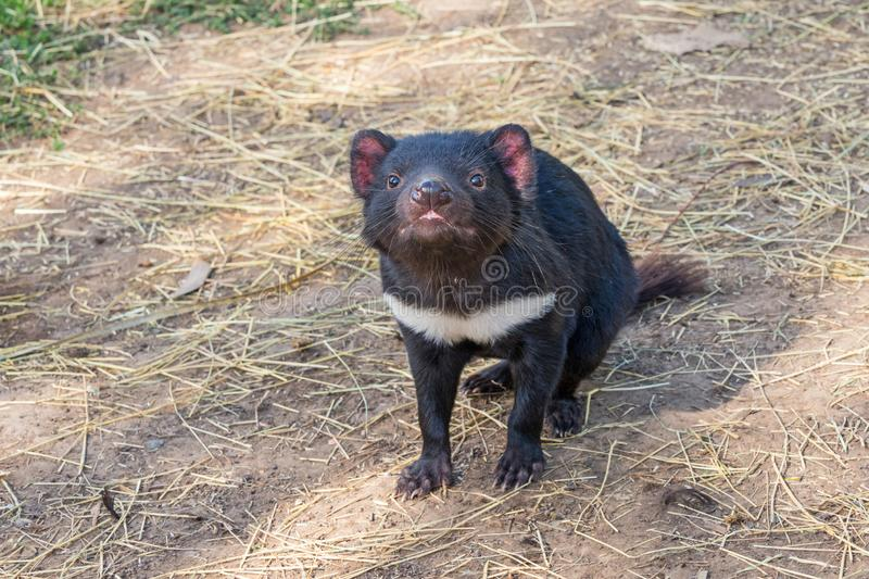 Tasmanian Devil. The Tasmanian Devil Sarcophilus harrisii is a carnivorous marsupial of the family Dasyuridae. It is now found in the wild only on the island royalty free stock photography