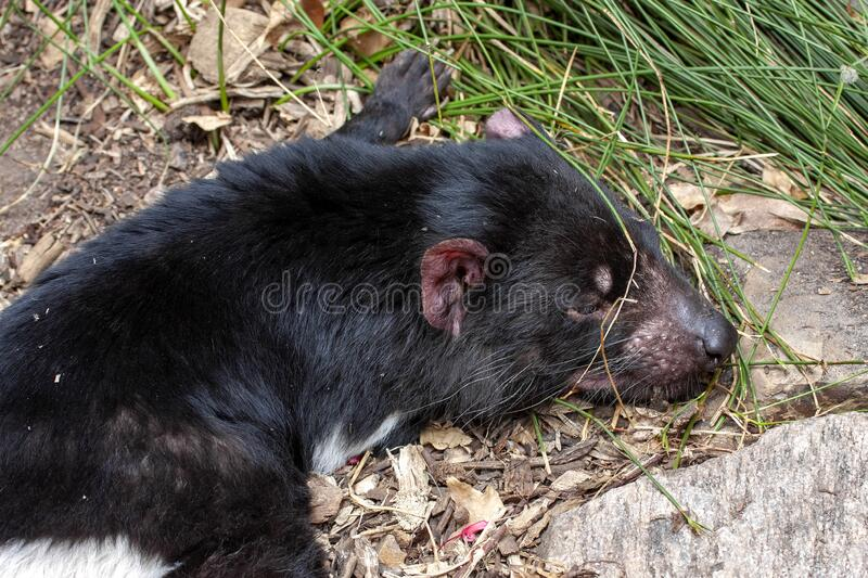 Tasmanian devil, Sarcophilus harrisii, is an endangered species afflicted by diseases of Australia. The Tasmanian devil, Sarcophilus harrisii, is an endangered stock photography