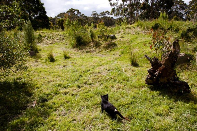 Tasmanian Devil - Tasmania stock image
