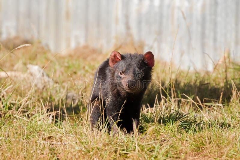Tasmanian devil walking on green field in the sun, afternoon in Tasmania, Australia royalty free stock photos