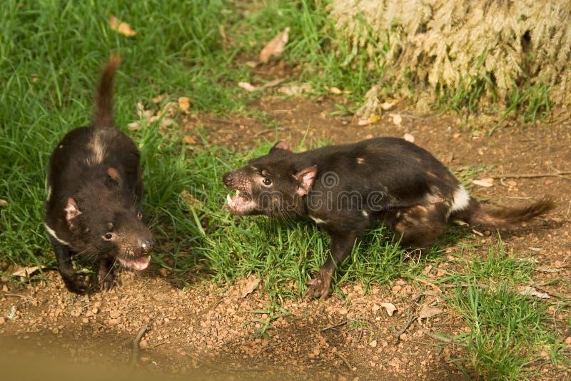 Tasmanian devils fighting stock photos