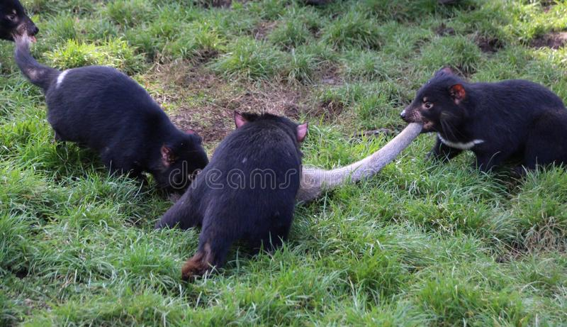 Tasmanian Devil. S are the largest carnivorous meat-eating marsupials in the world. Like all marsupials,  mothers give birth to very tiny young... s live in stock photography