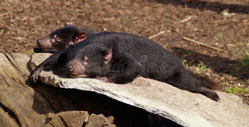Tasmanian devils in sunshine royalty free stock image