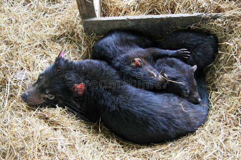 Tasmanian diabła rodzina zdjęcia royalty free