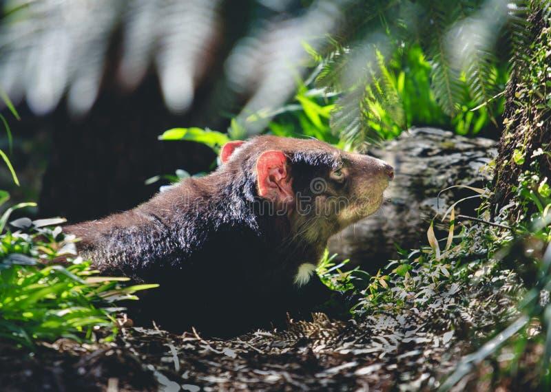 Tasmanian jäkel i det löst royaltyfri foto