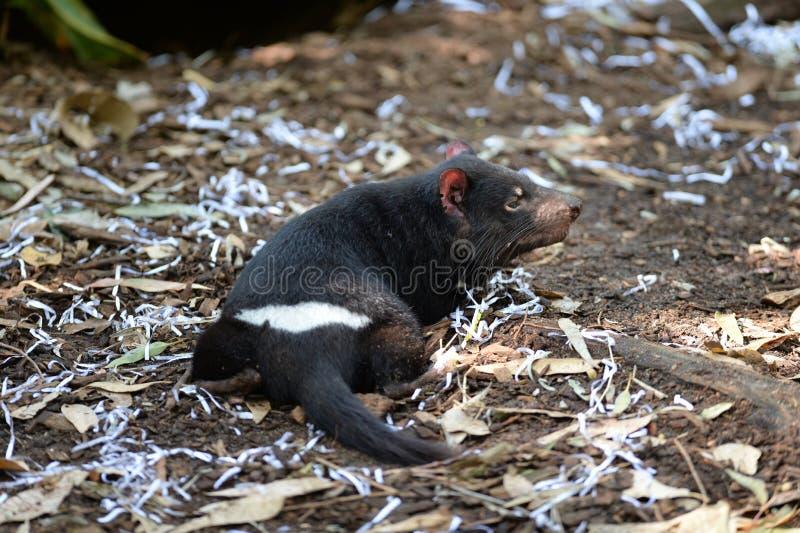 Tasmanian Tiger stock photo