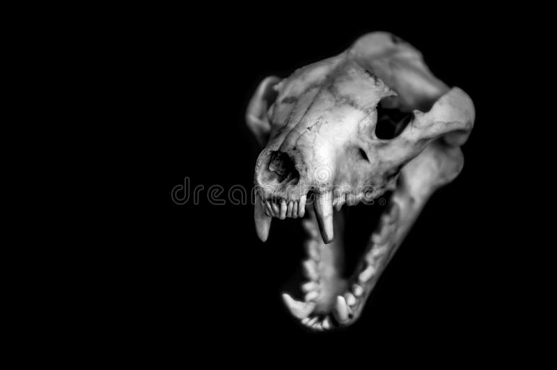 Tasmanian Tiger skull royalty free stock photography