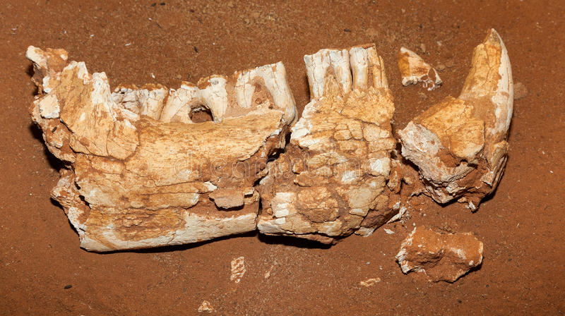 Tasmanian tiger very old fossil stock photo