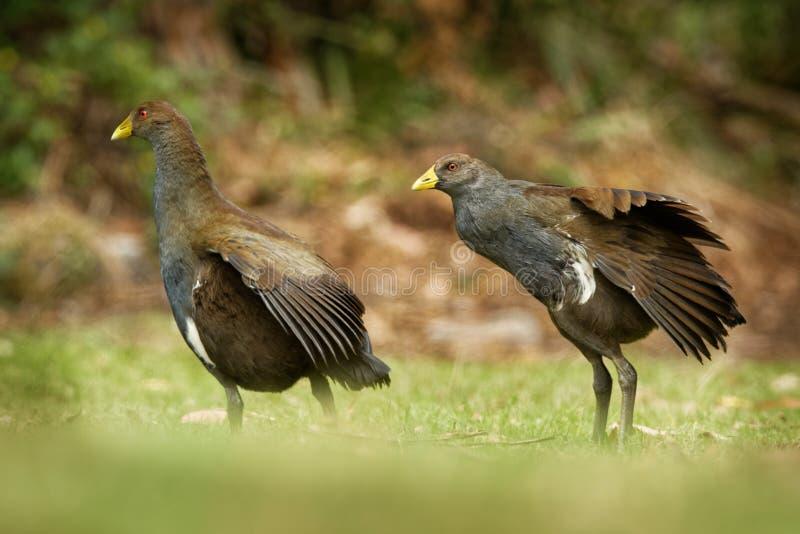 Tasmaniano nativehen - mortierii de Tribonyx - o trilho flightless e uma de doze espécies de pássaros endêmicos à ilha australian fotografia de stock royalty free