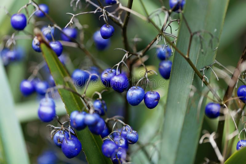 Tasmanica Dianella лилии льна Tasman стоковые фотографии rf