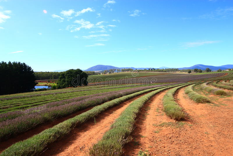 Tasmanien-Lavendel-Felder lizenzfreies stockfoto