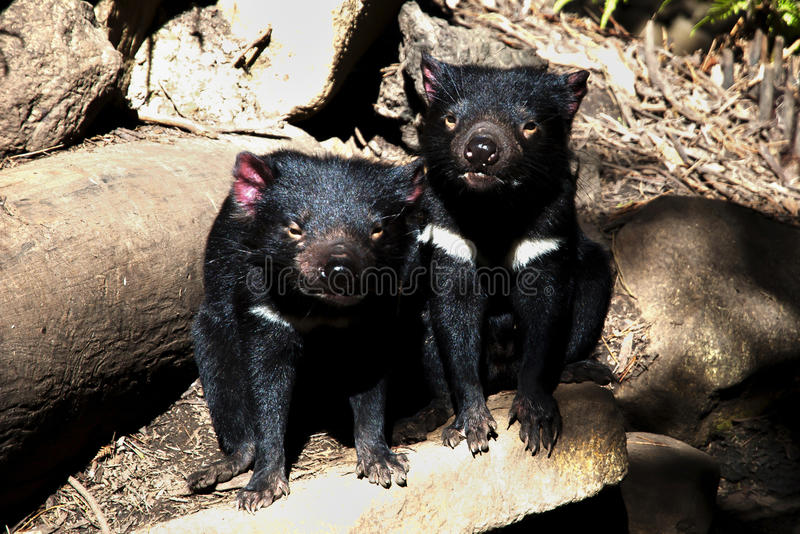 Tasmanische Teufel - Tasmanien lizenzfreie stockfotografie