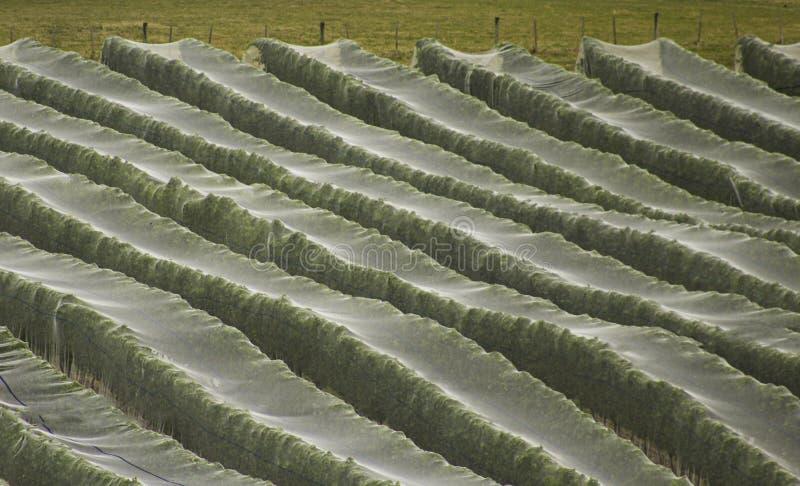 Tasmanische Weinrebereben des kühlen Wetters abgedeckt durch das Geflecht im Frühherbst stockfotografie