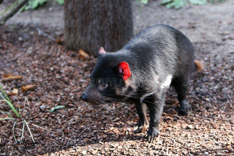 Tasmanischer Teufel stockfotos