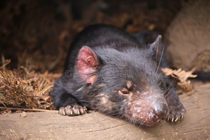 Tasmanischer Teufel lizenzfreies stockbild
