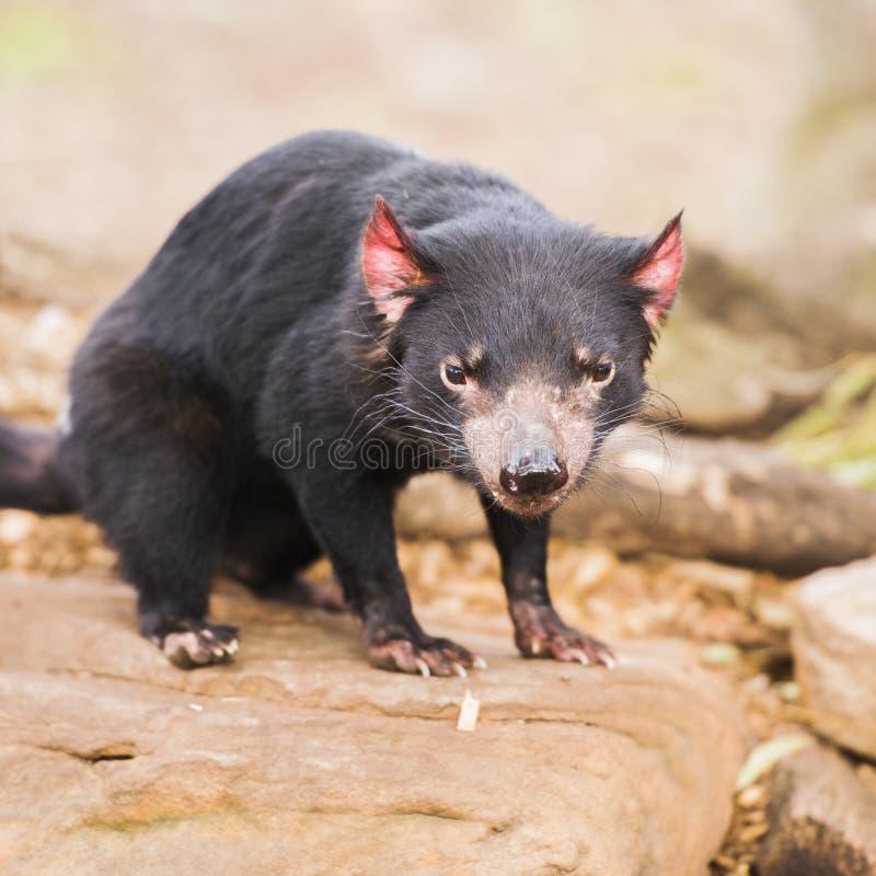 Tasmanischer Teufel in Hobart, Tasmanien stockbilder