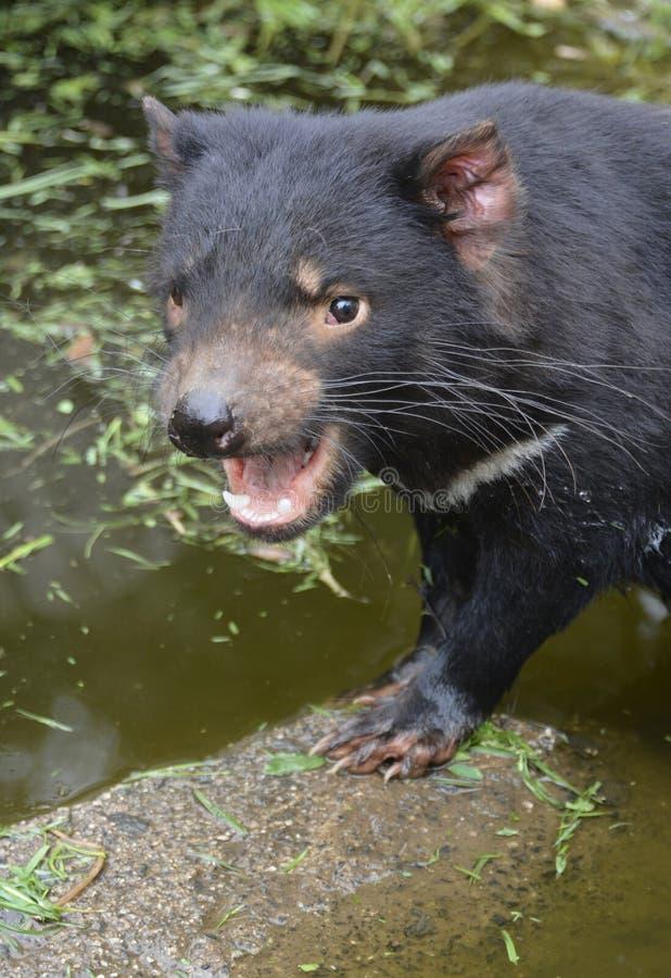 Tasmanischer Teufel im Wasserbecken mit dem Mund offen stockfoto
